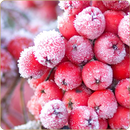 Red Frosty Fruit
